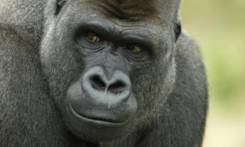 western-lowland-gorilla-heroHI_279168.jpg